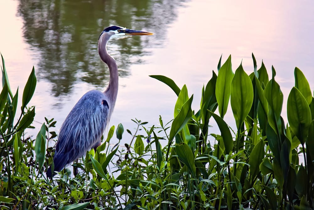 Great Blue Heron wading along the water
