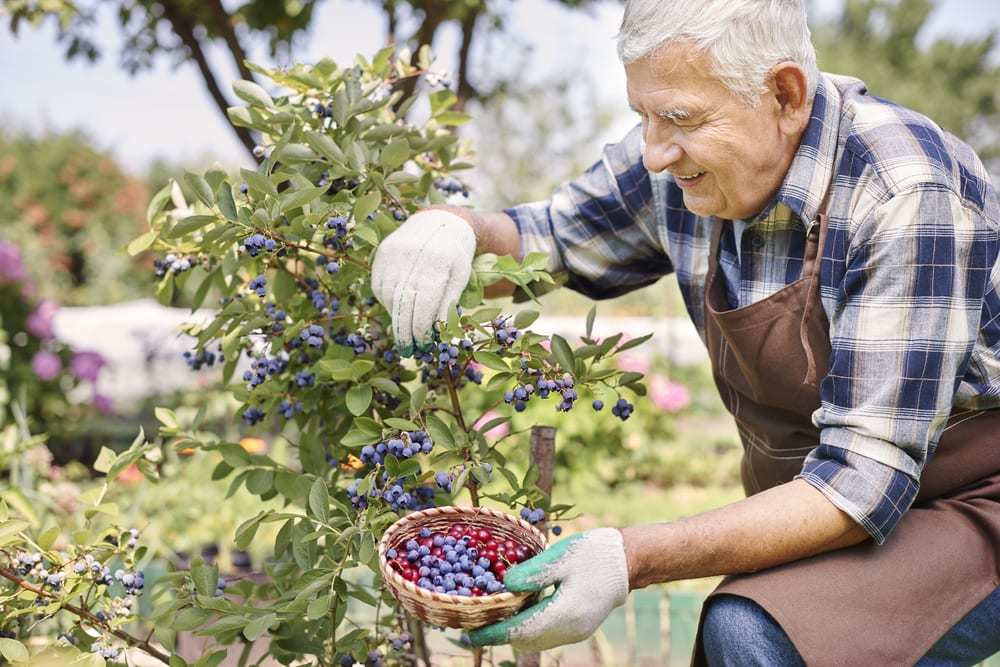 senior man picking blueberries